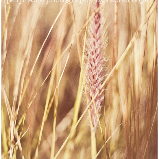 soft light, wild grass, fine art photograph