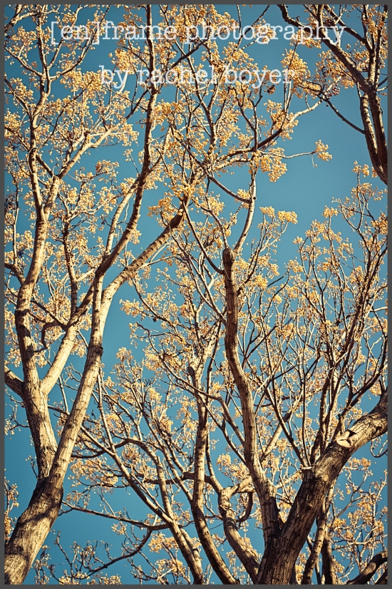 winter trees, blues skies in arizona
