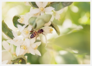 blossoming orange tree and buzzing bee