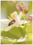 honey bee working on a blooming lemon tree in scottsdale arizona