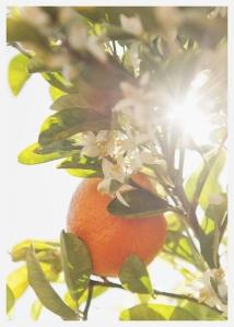 orange blossoms, blooming citrus tree, scottsdale, arizona