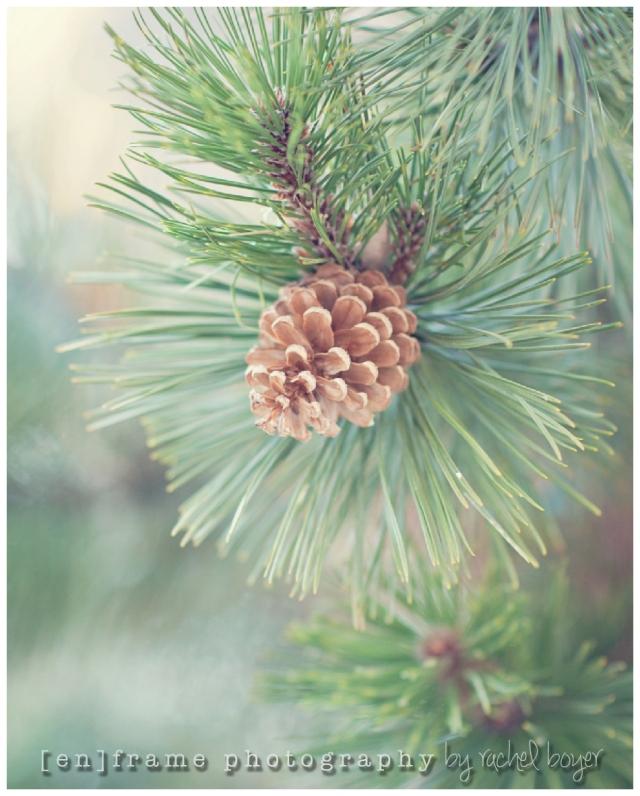 winter pine tree; winter details; photography www.enframephotography.com